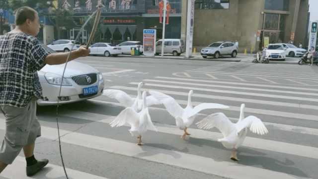 大爷闹市遛4只大鹅,走9里路去玩水