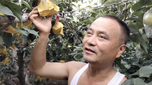 脆甜无渣!大叔种出1.5斤绿宝石梨