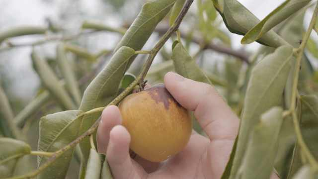 他摸索3年种植冬枣,终于收获脆甜