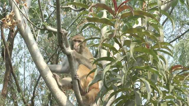 不知来路的两只猴,路边树林待两年