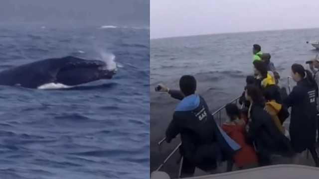日本兴起观鲸潮,吃鲸传统没人继承