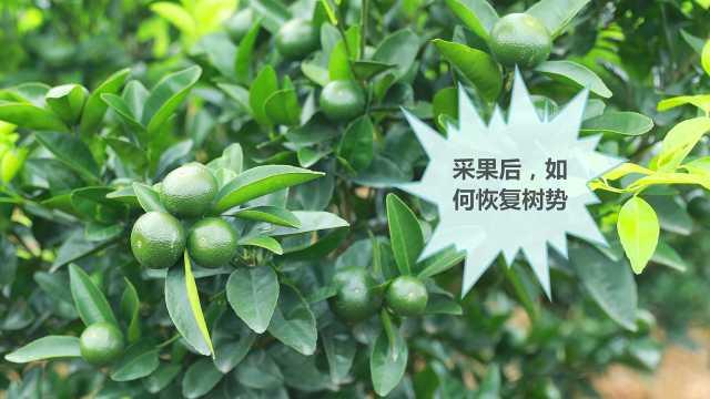 枳壳砧沃柑结果树营养管理