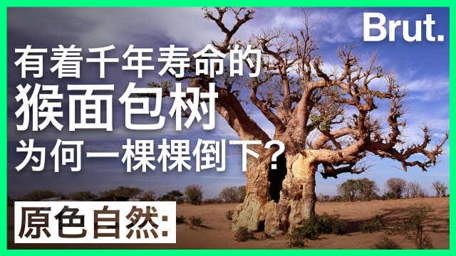 千年寿命的猴面包树为何相继倒下?