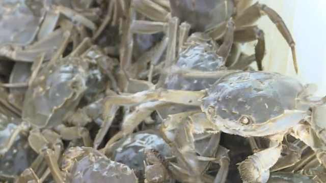 泗洪河蟹膏满黄肥:最大的半斤以上