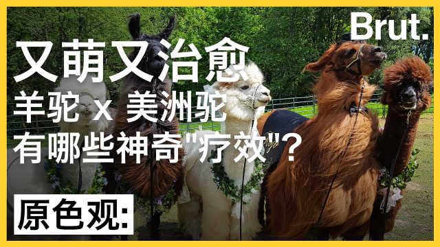 又萌又治愈的羊驼有哪些神奇疗效?