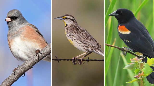 生态危机!北美洲鸟类50年减少30亿