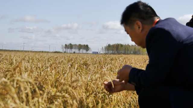 南方人东北当庄主,种的稻米可生吃