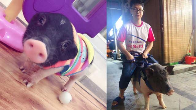 1天6顿!3斤宠物猪被主人养到百斤