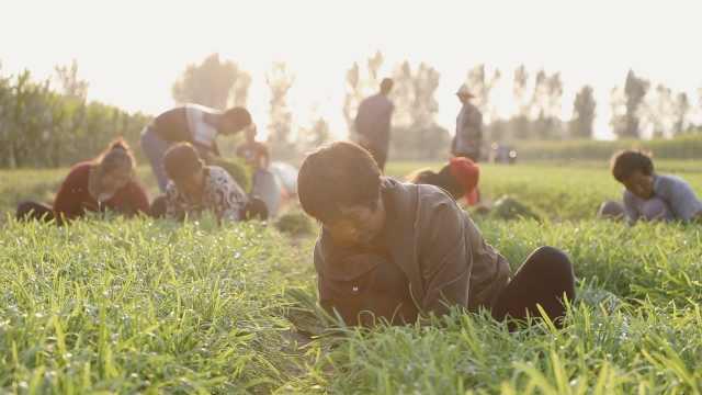千年韭菜村丰收,进村就能闻到香味