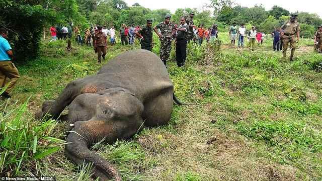 心碎!斯里兰卡7头大象疑被下毒惨死