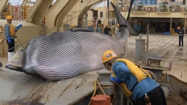 日本商業捕鯨船3月捕獲1430噸鯨肉