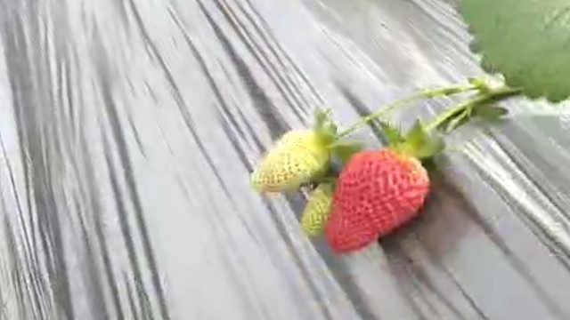 海拔4千米种出高山草莓,味道甜如蜜