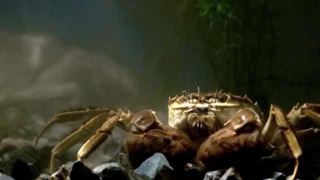 阳澄湖大闸蟹为啥好吃?比你吃得好