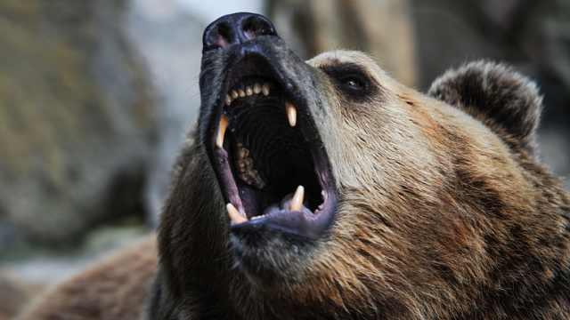 好险!俄罗斯渔民熊口救出珍稀海豹