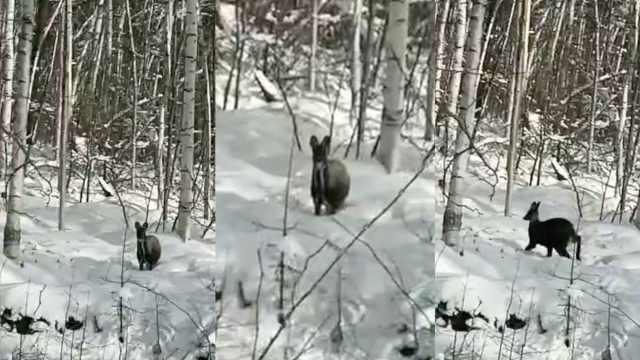 罕见原麝现身雪地,首次被手机拍下