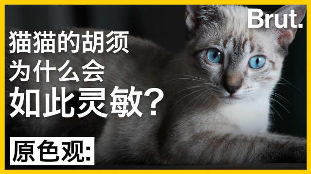 猫猫的胡须为什么会如此灵敏?