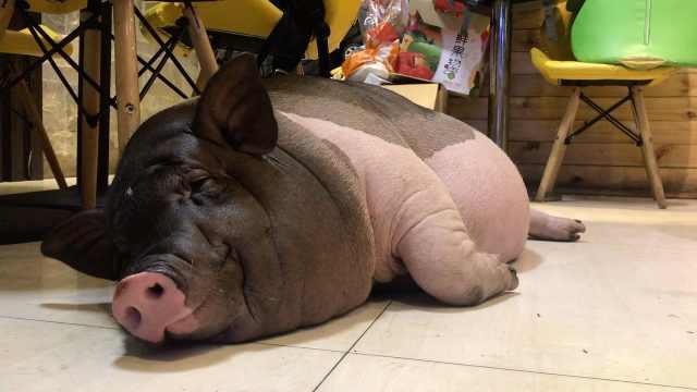 奶茶店饲养宠物猪,体重已超100斤