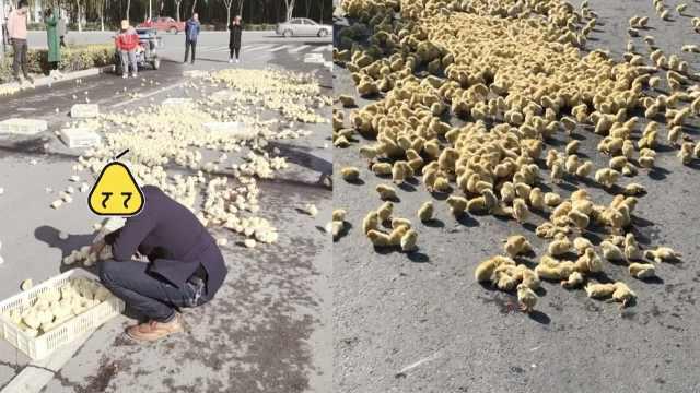货车甩出数百小鸡,群众拿筐捡回家