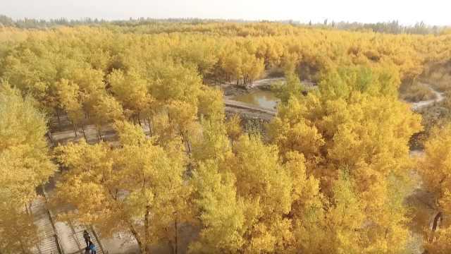 新疆壮美胡杨林,浩瀚金海震撼游客