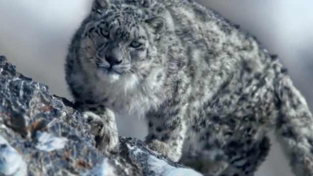 造物神奇!雪豹60米坠落仍顽强捕猎