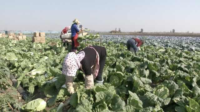 日销35吨,山东菜农解韩国泡菜危机