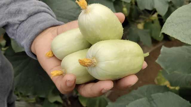 大哥种植拇指小黄瓜,1年卖200万斤