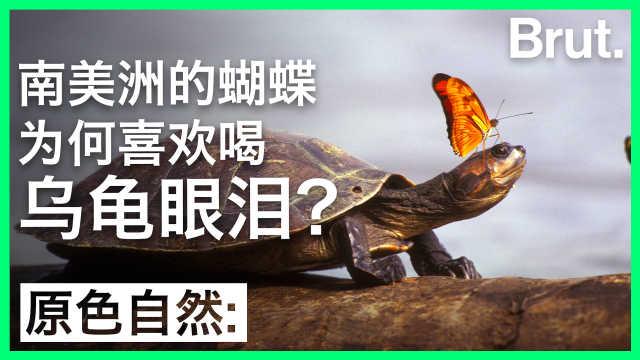 南美洲的蝴蝶为何喜欢喝乌龟眼泪?