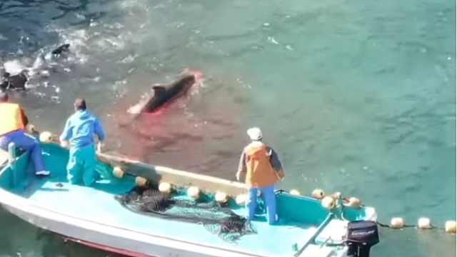 日本太极町鲸鱼捕杀现场,残忍至极