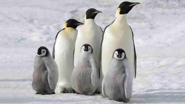 海冰融化,2100年帝企鹅或将灭绝