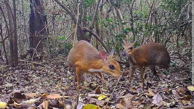 30年不见踪迹!银背鼷鹿重现越南