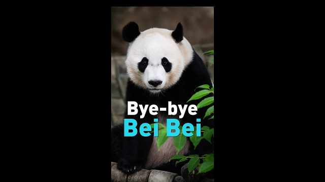 大熊猫贝贝回国,美国粉丝不舍告别