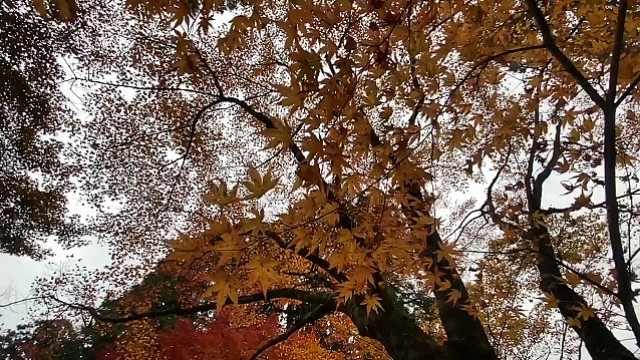 京都走一遭,原来最美的枫叶在这里