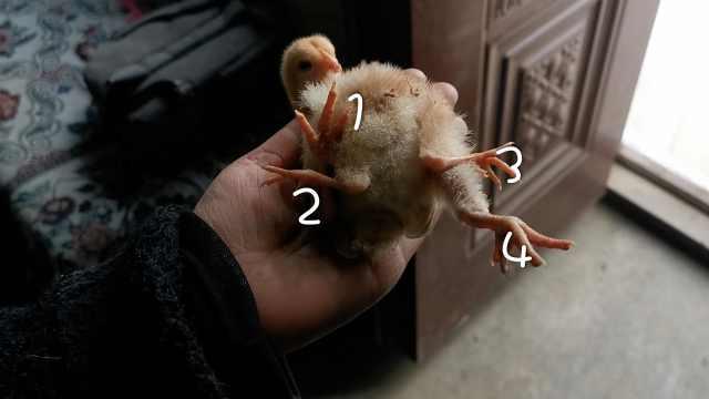 稀奇!小鸡长4条腿,养殖户第1次见
