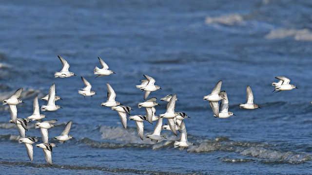 直播:大漠天鹅湖!数万候鸟来越冬
