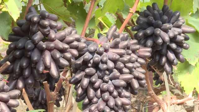 宝石葡萄反季上市,39元1斤仍受追捧