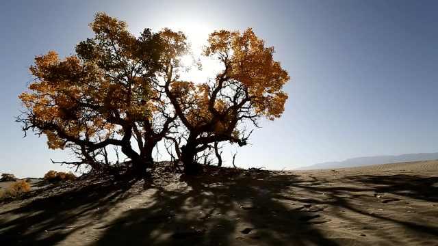 世界海拔最高胡杨林:根系深达13米