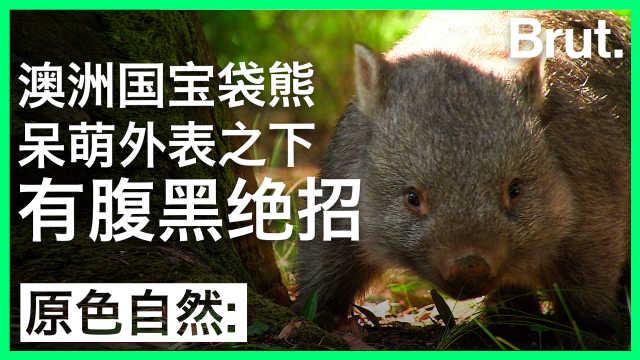 澳洲袋熊:呆萌外表下有腹黑绝招