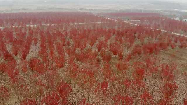 绝美!宝藏社区里藏着300亩红枫林