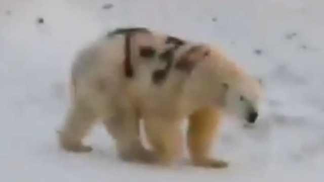 北极熊身上被涂字,专家称影响捕食