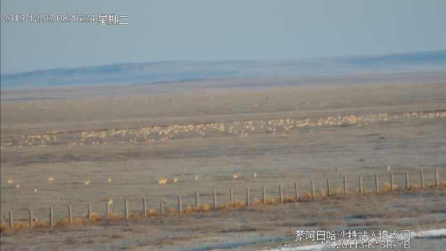 蒙古国大雪,6千黄羊入境我国避寒