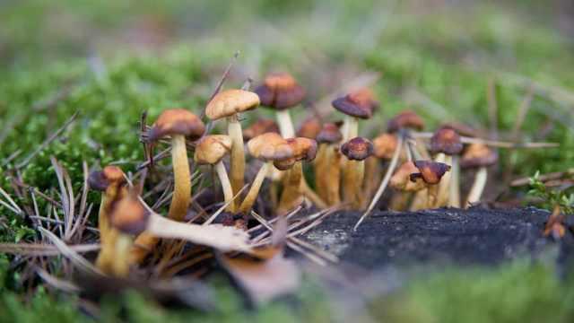研究称迷幻蘑菇或可治疗抑郁焦虑症