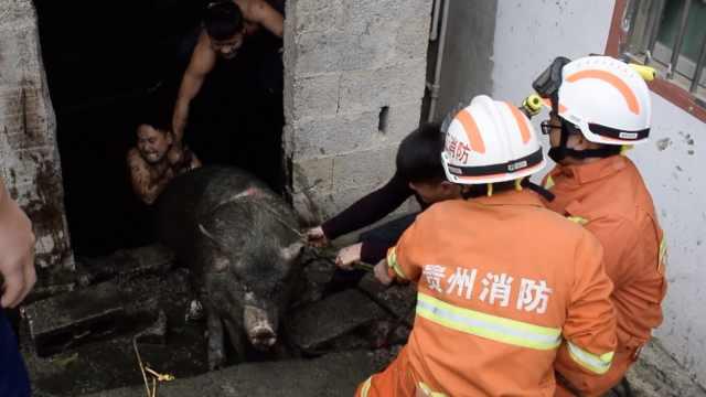2头猪长胖压垮猪圈掉粪坑,主人求救