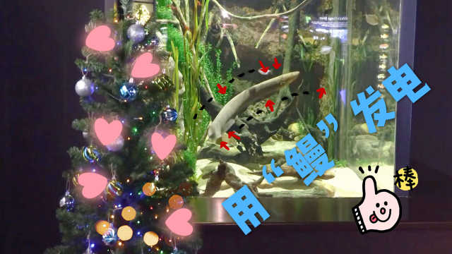 鳗鱼发电点亮彩灯欢度圣诞