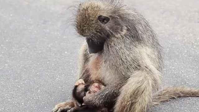 宝宝被车撞死,猴妈妈久久不愿离去