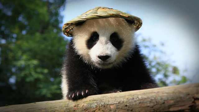 熊猫是怎么成为中国国宝的?