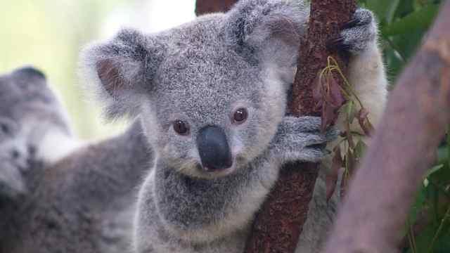澳环境部长:考拉可能成为濒危物种