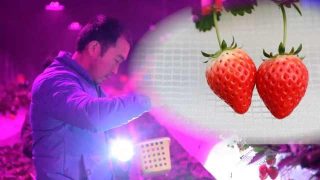 他种的草莓卖60元一斤,夜摘更浪漫
