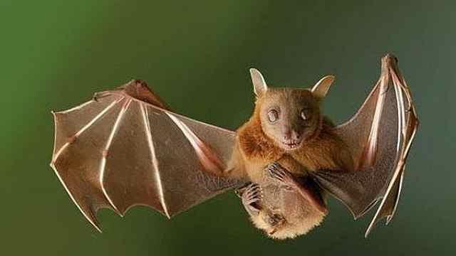 蝙蝠为什么是多数致命病毒携带者?
