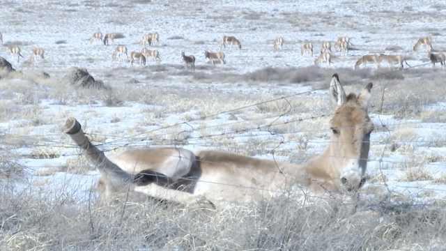 野驴边境觅食遭铁网缠脚,求助民警