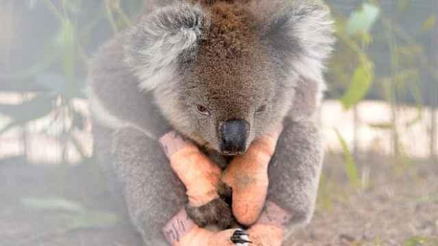 栖地被烧!澳113种动物需紧急救助